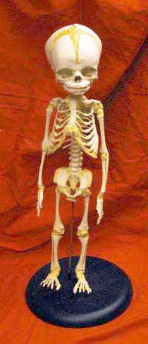 Skeleton Of Baby Mounted On Stand Cast Skeletons