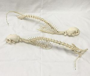 Cat Skeletons (priced individually)