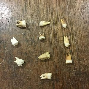 Human Teeth (each)