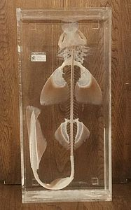 Large Fish Skeleton In Preserving Liquid