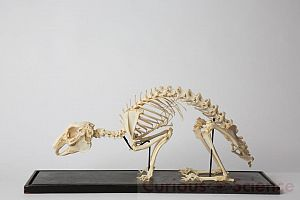 Mounted Rabbit Skeleton