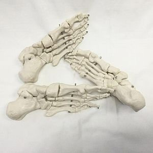 Composite Human Foot Skeleton (priced individually)