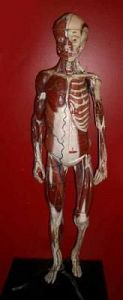 Dr Auzoux Anatomical Model