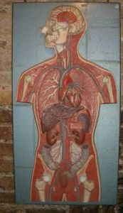 Anatomical torso on wall plaque 19th-20th c.