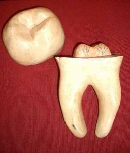 Large model tooth