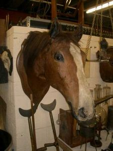 Mounted head of a race horse