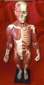 Male Anatomical Body