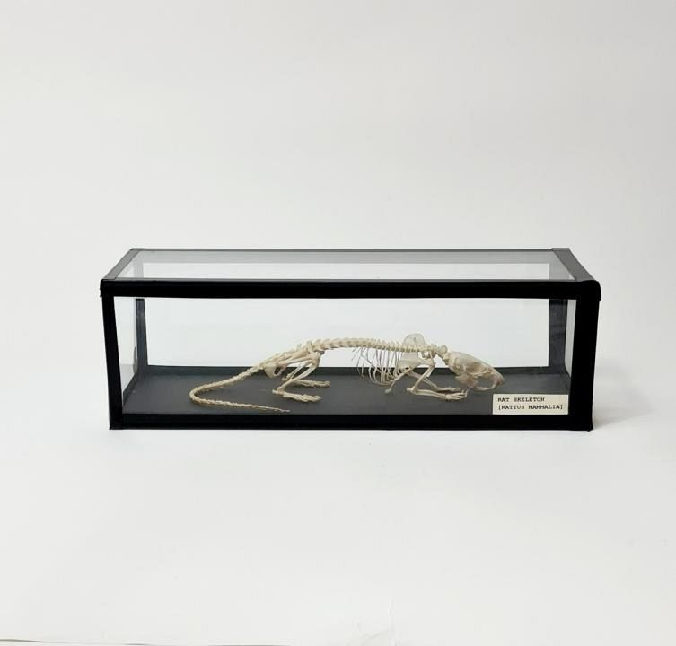 Rat Skeleton in Glass Case