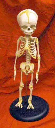 Skeleton Of Baby Mounted On Stand Cast