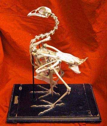 Antique Bird Skeleton