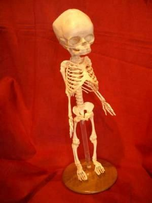 Baby skeleton on stand, replica.