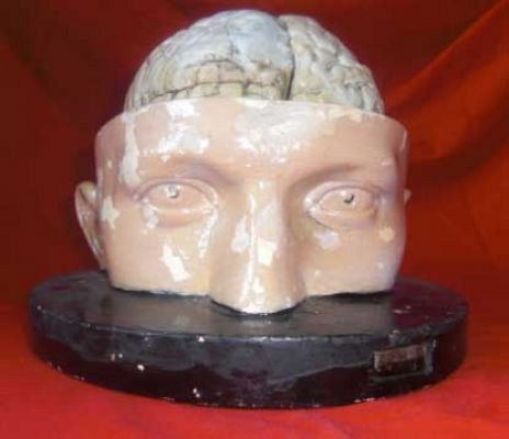 Head and Brain Model