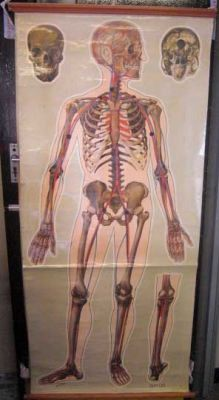 Anatomical Chart