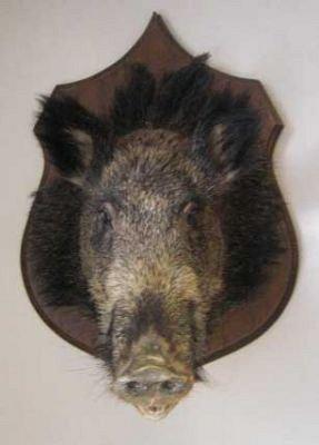 Stuffed Wild Boar Trophy | CURIOUS SCIENCE